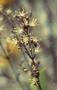 Caryophyllaceae - Schiedea ligustrina