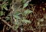 Caryophyllaceae - Schiedea nuttallii
