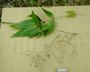 Caryophyllaceae - Schiedea pubescens