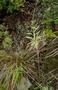 Caryophyllaceae - Schiedea salicaria