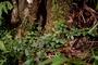 Caryophyllaceae - Schiedea viscosa