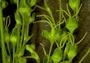 Caryophyllaceae - Schiedea kealiae