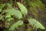 Thelypteridaceae - Thelypteris globulifera