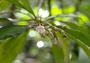 Primulaceae - Ardisia elliptica