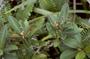 Euphorbiaceae - Euphorbia clusiifolia