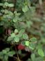 Euphorbiaceae - Euphorbia sparsiflora