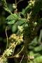 Convolvulaceae - Cuscuta sandwichiana