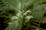 Campanulaceae - Cyanea acuminata