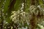 Campanulaceae - Cyanea superba subsp. superba