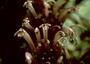 Campanulaceae - Cyanea truncata
