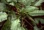 Campanulaceae - Delissea waianaeensis