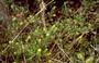 Geraniaceae - Geranium kauaiense