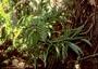 Campanulaceae - Lobelia dunbariae subsp. paniculata