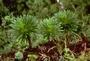 Campanulaceae - Lobelia gaudichaudii