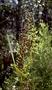 Cyperaceae - Machaerina angustifolia