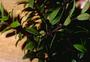Primulaceae - Myrsine denticulata