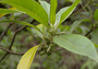 Goodeniaceae - Scaevola mollis