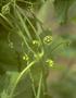 Cucurbitaceae - Sicyos maximowiczii
