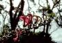 Campanulaceae - Trematolobelia kauaiensis