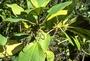 Urticaceae - Boehmeria grandis
