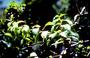 Asteraceae - Dubautia latifolia