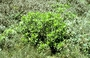Asteraceae - Dubautia paleata