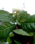 Rubiaceae - Gardenia remyi