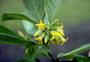 Loganiaceae - Labordia hedyosmifolia