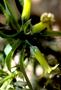 Loganiaceae - Labordia hirtella