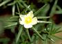 Portulacaceae - Portulaca sp.