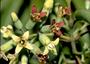Santalaceae - Santalum pyrularium