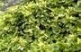 Solanaceae - Solanum nelsonii