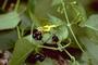 Lamiaceae - Stenogyne scrophularioides