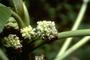 Urticaceae - Touchardia latifolia