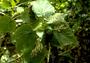 Urticaceae - Urera kaalae