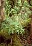 Violaceae - Viola helenae