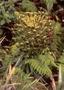 Asteraceae - Argyroxiphium virescens
