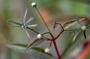 Asteraceae - Bidens hawaiensis