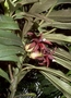Campanulaceae - Clermontia drepanomorpha