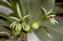 Campanulaceae - Clermontia kakeana