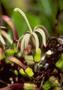 Campanulaceae - Clermontia parviflora