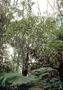 Campanulaceae - Clermontia peleana subsp. peleana