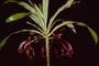Campanulaceae - Cyanea koolauensis