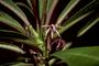 Campanulaceae - Cyanea lanceolata
