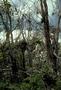 Campanulaceae - Cyanea leptostegia