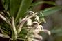 Campanulaceae - Cyanea mannii