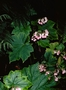 Begoniaceae - Hillebrandia sandwicensis