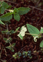 Lamiaceae - Phyllostegia lantanoides