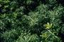 Asteraceae - Remya mauiensis