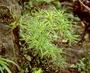 Goodeniaceae - Scaevola hobdyi